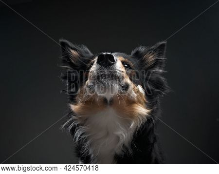 The Dog Catches Food. Expressive Tricolor Border Collie. Funny Pet On Black Background