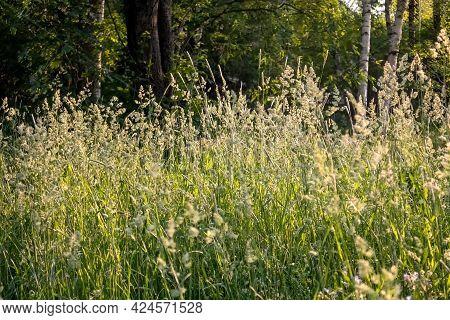 Cerealsat Sunset. Wild Cereals. Finnish Nature. Summer Background. High Quality Photo