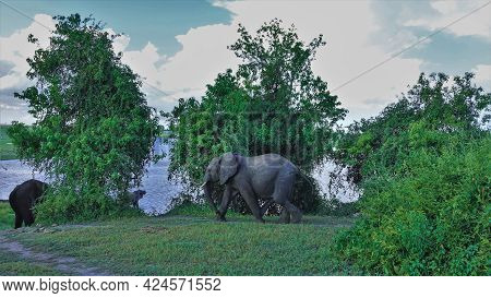 The Elephant Goes To The Watering Hole On The Green Grass. Lush Trees On The River Bank. There Are W