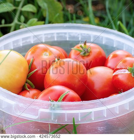 Red Tomatoes In A Bucket In The Garden. Selective Focus
