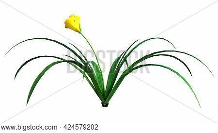 3D Rendering Daylily Flower On White