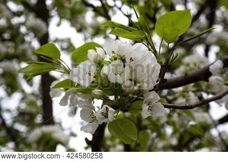 White Blossoming Apple Trees In The Sunset Light. Spring Season, Spring Colors