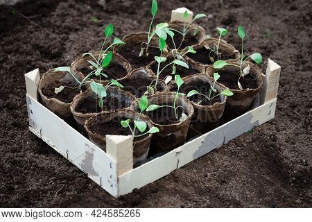 Cabbage Seedlings In Peat Pots In Wooden Box Standing On The Ground Before Planting