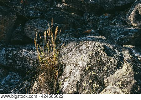 Colorful Autumn Scenery With Closeup Of Cereal In Golden Sunshine On Lichen Rocks. Sunny Mountain La