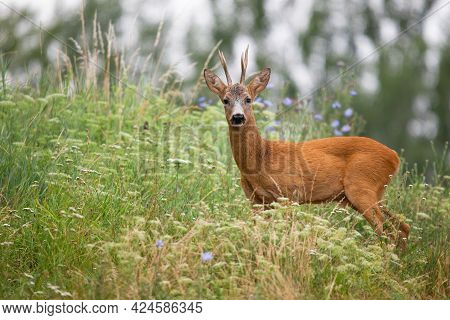Roe Deer Looking To The Camera In Long Grass From Side