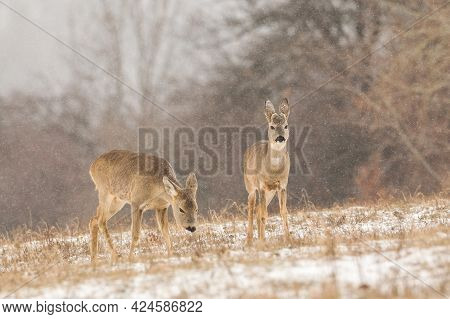Group Of Roe Deer On A Pasture Covered With White Snow.