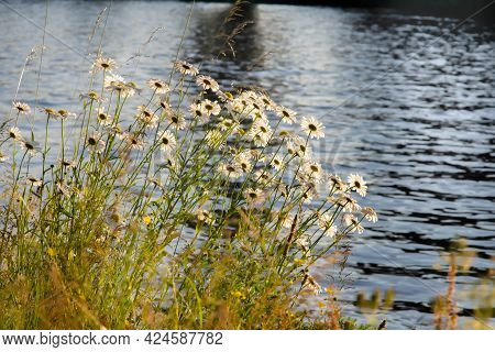White Daisies And Grass Near The Canal In The Sunset