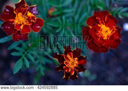 Bright Flower In The Park. Reddish Orange Flower Heads Of Tagetes Patula