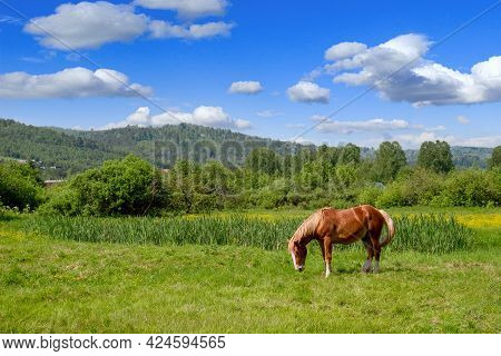 Red Horse Grazing In A Meadow On A Sunny Day. Alone Horse Eating Grass. Pasture Summer Landscapeorse