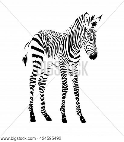 Black And White Image Of A Standing Zebra Cub Isolated Vector Illustration