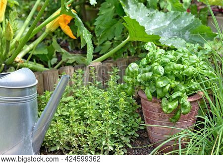Aromatic Plant And Basil In Potted Put On The Soil With Chives And Origano  In A Garden