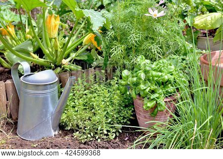 Aromatic Plant And Basil In Potted Put On The Soil With Chive And Origano  In A Garden