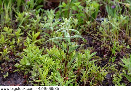 Mentha Aquatica Medicinal Plant Or Water Mint Is Perennial Flowering Plant In The Mint Family Lamiac