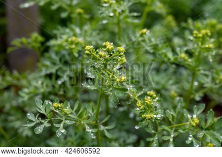 Ruta Graveolens Medicinal Plant Or Strong Smelling Rue, Commonly Known As Rue Or Herb-of-grace, Is