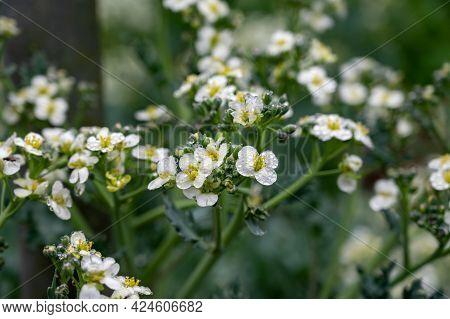 Botanical Collection, White Blossom Of Eadible Sea Shore Plant Crambe Maritima Or Sea Kale,seakale O