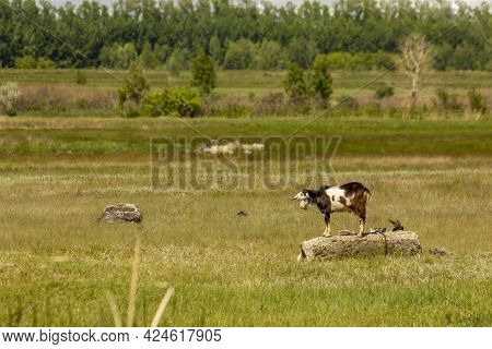 All Young Goats, Except For One, Hid In A Sultry Noon Behind A Cool Stone. Curious Young Goat Stands
