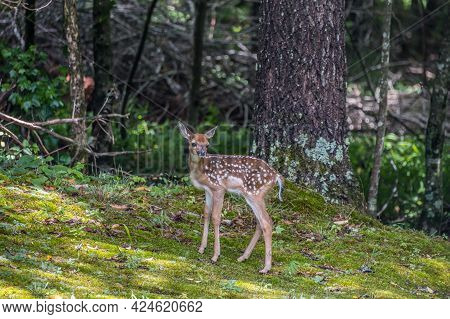 A Tall Fawn With Spots Looking Around While Waiting For Its Mother Deer To Show Up On A Sunny Day In