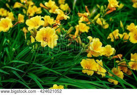 Yellow Lilac Hemerocallis