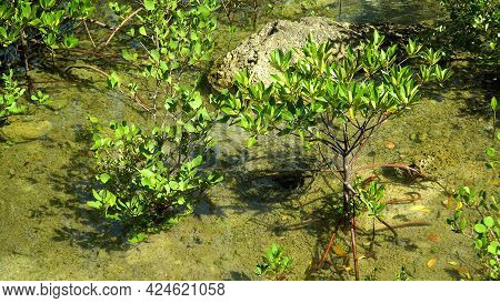 Young Mangroves In The Water. Mangrove Trees In The Water On A Tropical Island. An Ecosystem In The