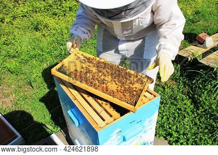 A Beekeeper Tending To Their Bees In A Langstroth Hive With Green Plant Background Copy Space.  Fram