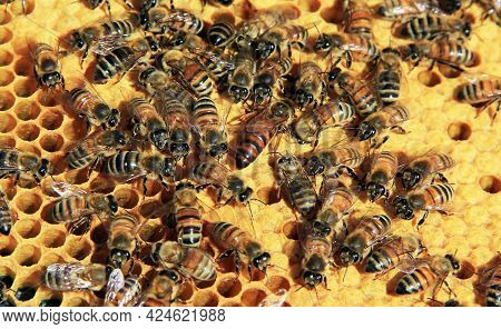 Find The Queen Bee Among Her Workers On A Langstroth Hive Frame Of Capped Brood Cells Or Brood Nest