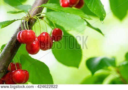 Fresh Ripe Red Cherry Branch, Tree Of Summer Fruit (prunus Avium)