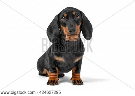 Portrait Of Adorable Dachshund Puppy Obediently Sits And Waits, Isolated On White Background, Front