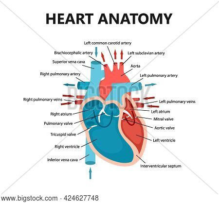 Diagram Of Heart Blood Flow Close-up. Cardiology Concept. Educational Diagram With Human Heart Cross