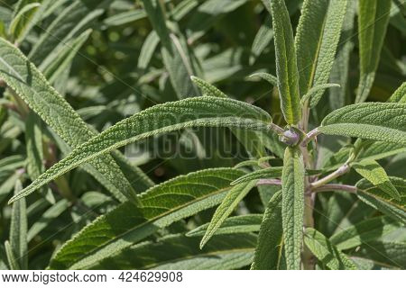 Leaves Of Salvia Leucantha Plant Seen Close Up With Sunlight Outdoors In Spring