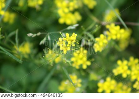 Creeping Yellowcress In Bloom Close-up View With Green Background