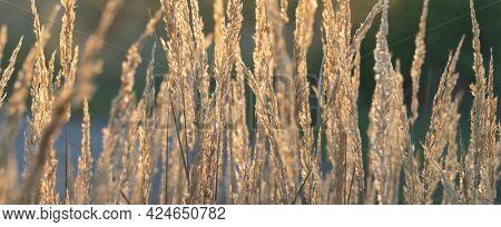 Reeds in the sunbeams Reeds in the sunbeams