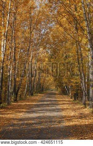 Beautiful Autumn Landscape With An Alley And Birches. Walk Through The Forest On A Sunny Autumn Day.