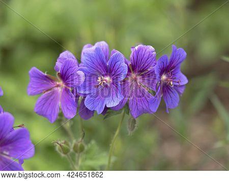 Beautiful Cranesbill Geranium Flowers, Geranium X Magnificum