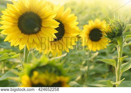Sunflowers Field In The Sun. Agriculture And Farming. Blooming Yellow Sunflowers. Farm Plants. Sunfl