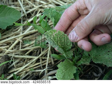 Chrysomelidae Leaf Beetle Eats Green Radish Leaves, Damaging Agriculture. Cruciferous Flea