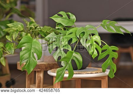 Exotic Houseplant With Botanic Name 'rhaphidophora Tetrasperma'  With Small Leaves With Holes In Bla