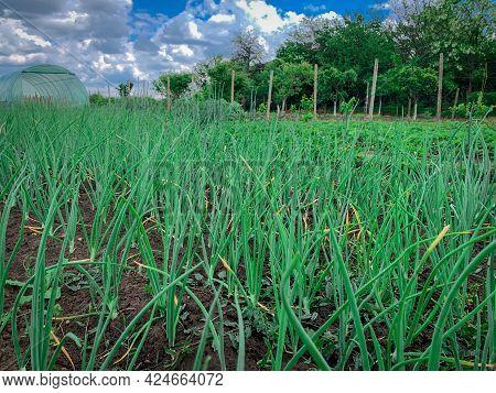 Farm Field Of Organic Green Onion. Bio Spring Onion.