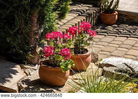 Pelargonium Flowers Commonly Known As Geraniums, Pelargoniums Or Storksbills In A Pot In A Garden