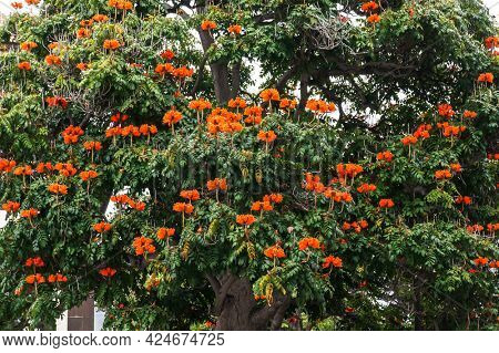 Spathodea campanulata is commonly known as the African tulip tree with red flowers (family Bignoniaceae) growing on street of Funchal, Madeira island.
