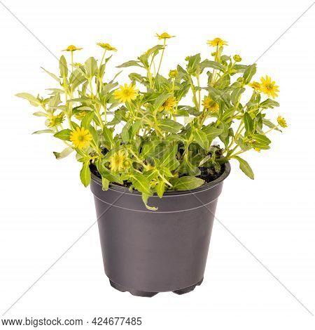 Mexican Creeping Zinnia Yellow Flowers, Sanvitalia Procumbens, Isolated On White Background