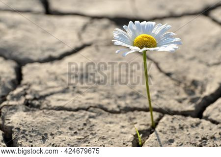 Marguerite flower growing from dried cracked soil. New life concept.