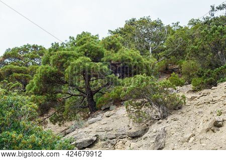 Subtropical Forest With Its Typical Plants (pines, Junipers Ets).  Nature Almost Untouched By Human