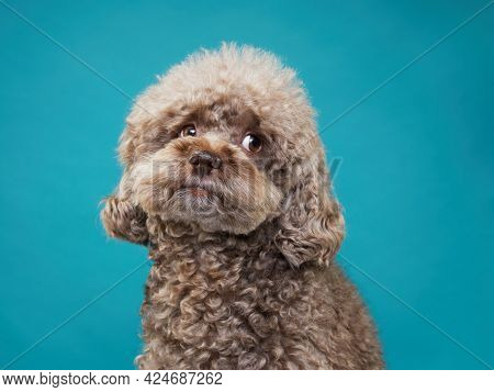 Cute Curly Chocolate Poodle. The Dog Is Like A Toy. Beautiful Pet On A Blue Background