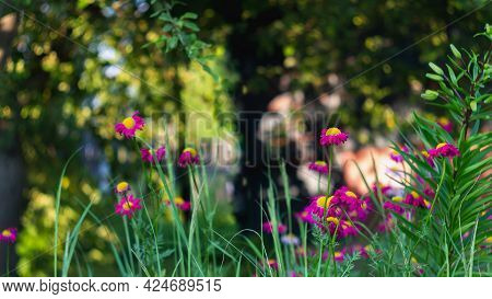 Bright Pink Flowers Among The Greenery And Trees. Summer Flower Background.