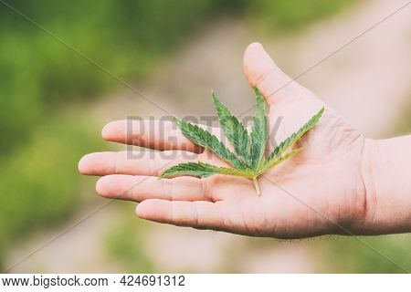 Man Holding Legal Green Marijuana Cannabis Sprout In His Hand Palm. Cannabis Beautiful Marijuana Can