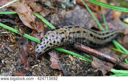 Biggest Leopard Slug Is Crawling Along The Ground. Selective Focus.
