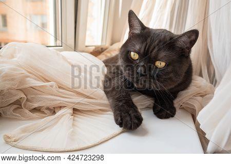 Сute Cat Laying On Windowsill On Crumpled Curtains