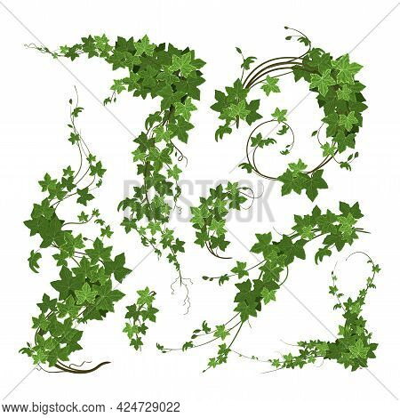 Ivy Branches Green Climbing Plant Composition With Isolated Blosoms Of Ripe Green Leaves On Blank Ba