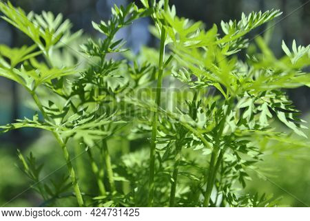 Close-up Of Green Parsley. Sprigs Of Garden Parsley Close-up.