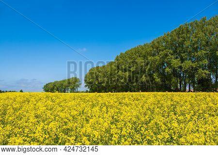 Canola Field With Blue Sky Near Parkentin, Germany.